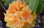Pěnišník azalka - Knap Hill Csardas - Rhododendron - Azalea - Knap Hill Csardas
