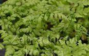 kapraď rozložená - Dryopteris dilatata (austriaca)
