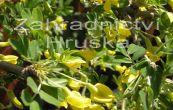 čimišník stromovitý Pendula - Caragana arborescens Pendula