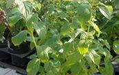 svída výběžkatá Flaviramea - Cornus stolonifera Flaviramea