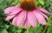 třapatka nachová Praire Splendor Rose - Echinacea purpurea Praire Splendor Rose