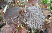 líska obecná Lombardská červená - Corylus avellana Lombardská červená
