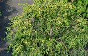 cypřišek hrachonosný Filifera Nana Aurea - Chamaecyparis pisifera Filifera Nana Aurea
