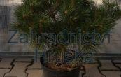 borovice kleč Compressa - Pinus mugo Compressa