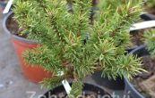 borovice Banksova Školka - Pinus banksiana Školka