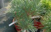 borovice lesní Compressa - Pinus sylvestris Compressa