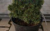 borovice pyrenejská Křivák - Pinus uncinata Křivák