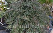 jalovec obecný Green Mantle - Juniperus communis Green Mantle