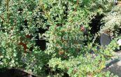 skalník Dammerův Microphyllus - Cotoneaster dammeri Microphyllus