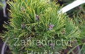 borovice kleč Picobello - Pinus mugo Picobello
