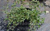 skalník vrbolistý Gnom - Cotoneaster salicifolius Gnom