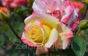 růže Martina - Rosa Martina
