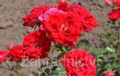 růže - Rosa