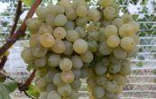 réva vinná NO-10 - Vitis vinifera NO-10