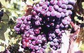 réva vinná Rusalka - Vitis vinifera Rusalka