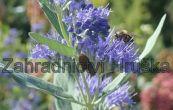 ořechoplodec clandonský Heavenly Blue - Caryopteris × clandonensis Heavenly Blue
