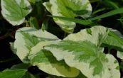 pomněnkovec velkolistý Variegata - Brunnera macrophylla Variegata