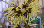 vilín prostřední Westerstede - Hamamelis × intermedia Westerstede