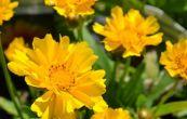 krásnoočko velkokvěté Presto - Coreopsis grandiflora Presto