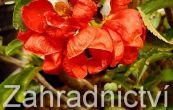 kdoulovec ozdobný Texas Scarlet - Chaenomeles speciosa Texas Scarlet