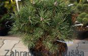 borovice kleč Mini Globus - Pinus mugo Mini Globus