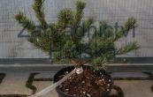 borovice drobnokvětá M-par 6 - Pinus parviflora M-par 6
