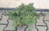 jalovec skalní Repens - Juniperus scopulorum Repens