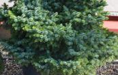 smrk omorika Treplicensis - Picea omorika Treplicensis