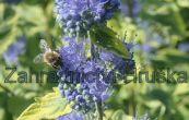 ořechoplodec clandonský Summer Sorbet - Caryopteris × clandonensis Summer Sorbet