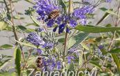 ořechoplodec clandonský Kew Blue - Caryopteris × clandonensis Kew Blue