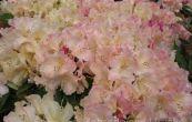 pěnišník jakušimský Percy Wiseman - Rhododendron yakushimanum Percy Wiseman