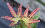 javor dlanitolistý Little Princess - Acer palmatum Little Princess