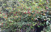 skalník vrbolistý Herbstfeuer - Cotoneaster salicifolius Herbstfeuer