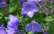 zvonek broskvolistý Blue Bells - Campanula persicifolia Blue Bells