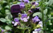 hledíček dobromyslolistý Dreamcatcher - Chaenorhinum origanifolium Dreamcatcher