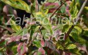 dřín jarní Tricolor - Cornus mas Tricolor