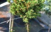 smrk ztepilý Van Bemmel - Picea abies Van Bemmel