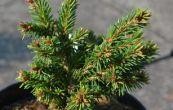 smrk ztepilý Maturant - Picea abies Maturant