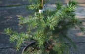 smrk omorika Zuckerhut - Picea omorika Zuckerhut