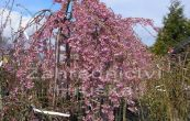 sakura ozdobná Pendula - Prunus subhirtella Pendula