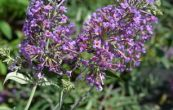 komule Davidova Lavender Flow - Buddleja davidii Lavender Flow