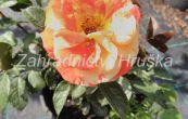 růže Papagena - Rosa Papagena