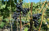 réva vinná Prezent - Vitis vinifera Prezent