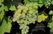 réva vinná Jalovenskij ustojčivyj - Vitis vinifera Jalovenskij ustojčivyj