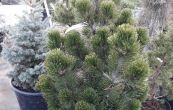 borovice bělokorá Compact Gem - Pinus leucodermis Compact Gem