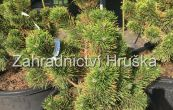 borovice kleč Zundert - Pinus mugo Zundert