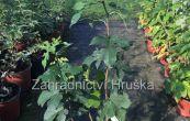 morušovník černý Bzenecká - Morus nigra Bzenecká