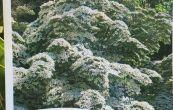 svída japonská - Cornus kousa var. chinensis