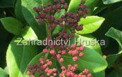 tušalaj vavřínolistý Gwenllian - Viburnum tinus Gwenllian