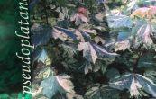 javor klen Hermitage - Acer pseudoplatanus Hermitage
